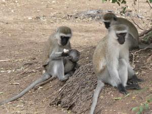 1024px-Vervet_Monkeys_in_Samburu